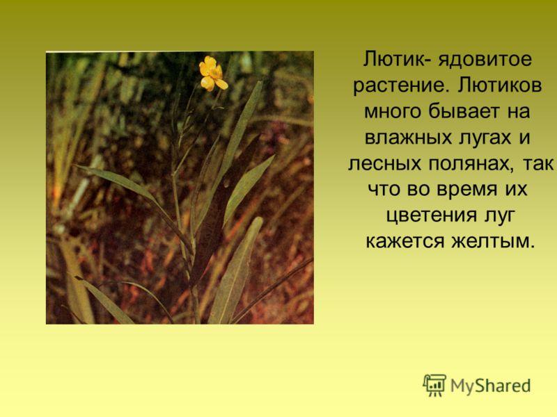 Лютик- ядовитое растение. Лютиков много бывает на влажных лугах и лесных полянах, так что во время их цветения луг кажется желтым.