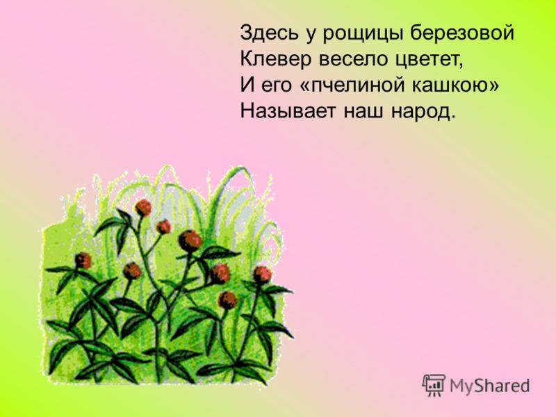 Здесь у рощицы березовой Клевер весело цветет, И его «пчелиной кашкою» Называет наш народ.