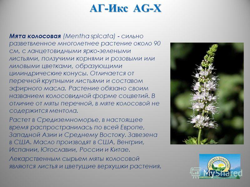 АГ-Икс AG-X Мята колосовая (Mentha spicata) - сильно разветвленное многолетнее растение около 90 см, с ланцетовидными ярко-зелеными листьями, ползучими корнями и розовыми или лиловыми цветками, образующими цилиндрические конусы. Отличается от перечн