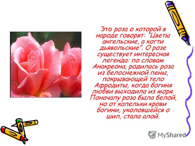 Это роза о которой в народе говорят: Цветы ангельские, а когти дьявольские. О розе существует интересная легенда: по словам Анакреона, родилась роза из белоснежной пены, покрывающей тело Афродиты, когда богиня любви выходила из моря. Поначалу роза бы