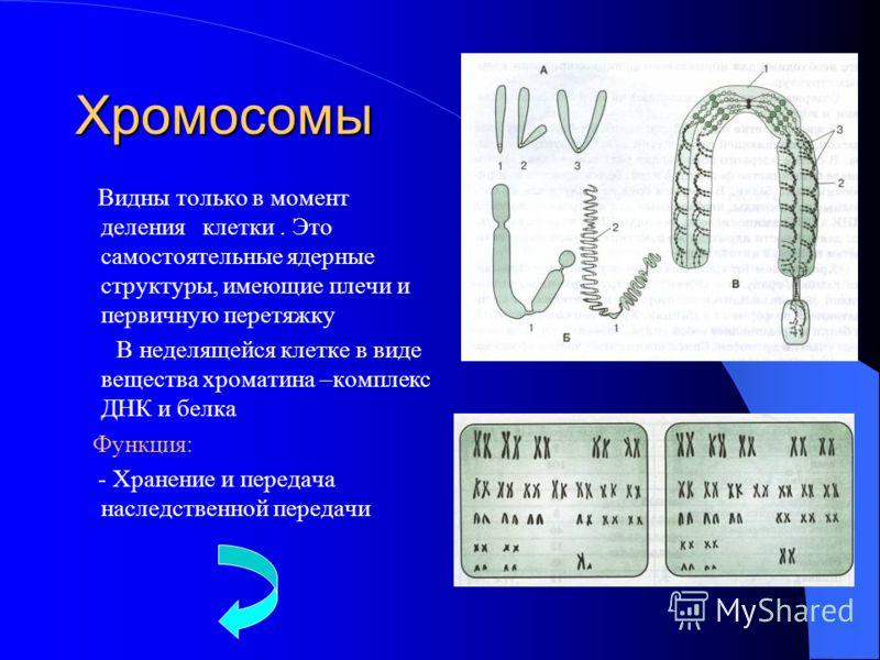 Хромосомы Видны только в момент деления клетки. Это самостоятельные ядерные структуры, имеющие плечи и первичную перетяжку В неделящейся клетке в виде вещества хроматина –комплекс ДНК и белка Функция: - Хранение и передача наследственной передачи