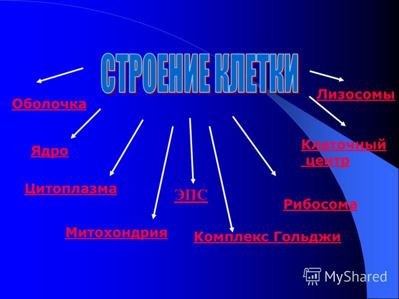 Ядро Цитоплазма Митохондрия Оболочка Комплекс Гольджи Рибосома ЭПС Клеточный центр Лизосомы