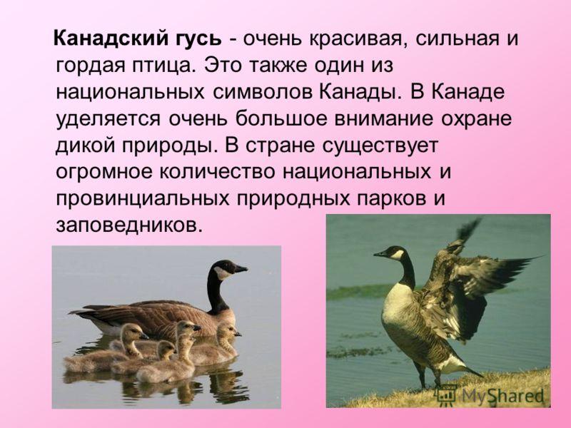 Канадский гусь - очень красивая, сильная и гордая птица. Это также один из национальных символов Канады. В Канаде уделяется очень большое внимание охране дикой природы. В стране существует огромное количество национальных и провинциальных природных п