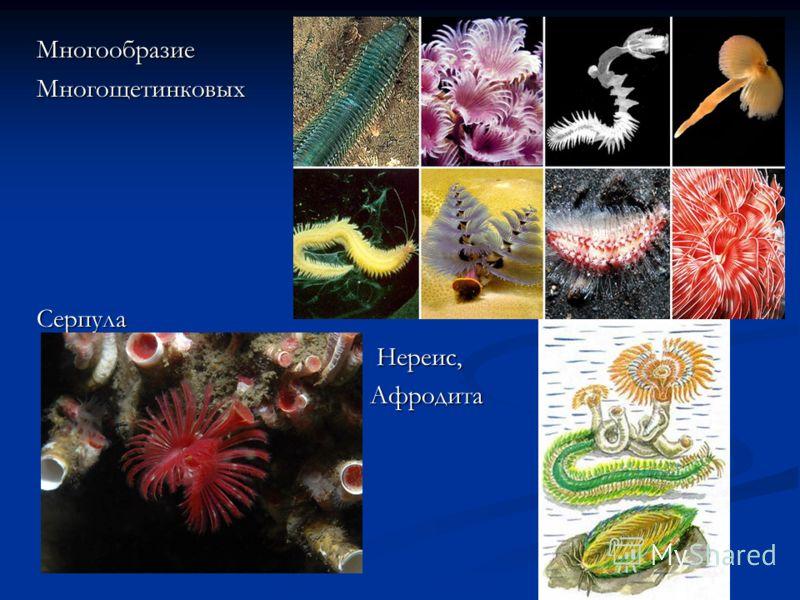МногообразиеМногощетинковыхСерпула Нереис, Нереис, Афродита Афродита