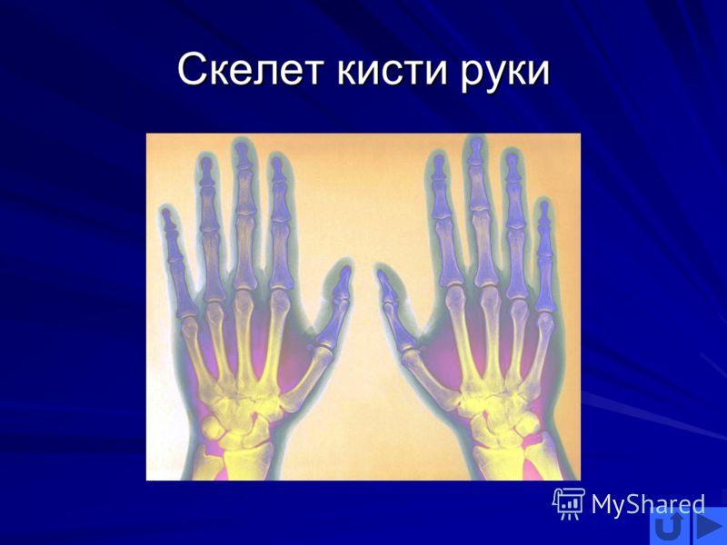Скелет кисти руки