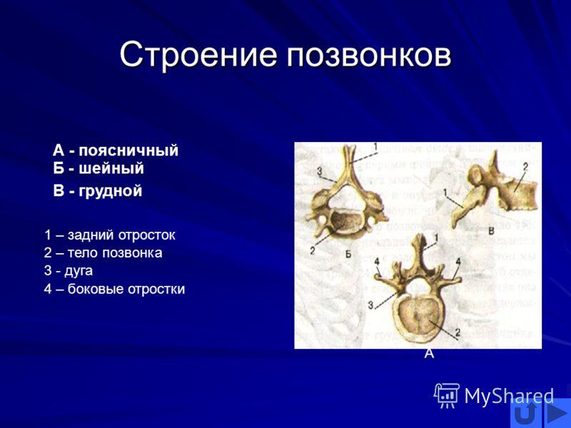 Строение позвонков А А - поясничный Б - шейный В - грудной 1 – задний отросток 2 – тело позвонка 3 - дуга 4 – боковые отростки