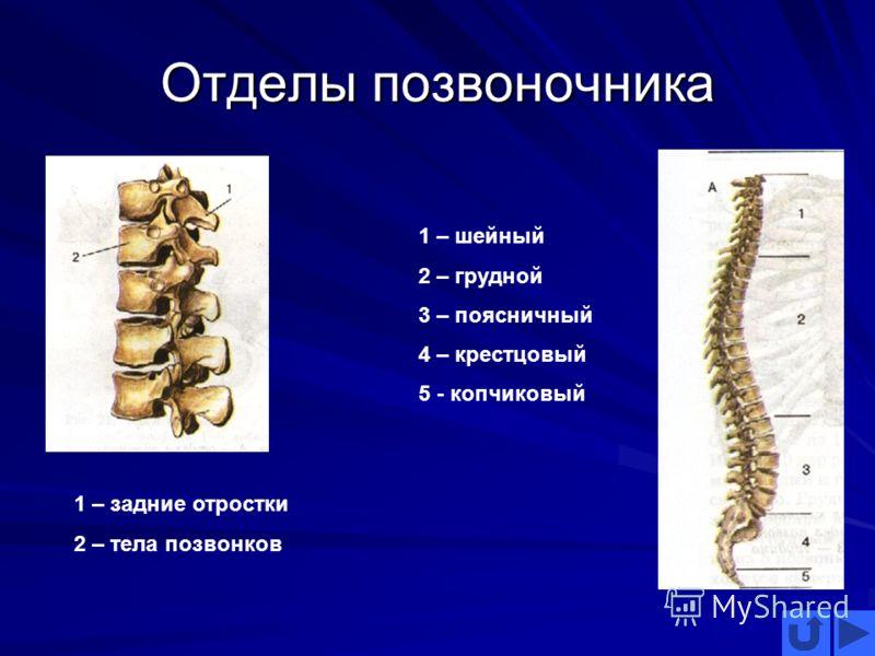Отделы позвоночника 1 – шейный 2 – грудной 3 – поясничный 4 – крестцовый 5 - копчиковый 1 – задние отростки 2 – тела позвонков