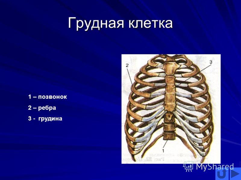 Грудная клетка 1 – позвонок 2 – ребра 3 - грудина