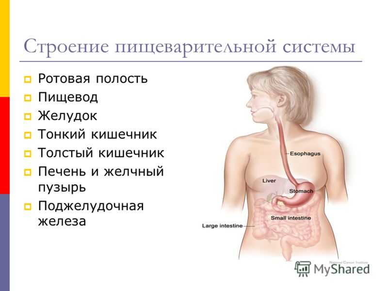 Строение пищеварительной системы Ротовая полость Пищевод Желудок Тонкий кишечник Толстый кишечник Печень и желчный пузырь Поджелудочная железа
