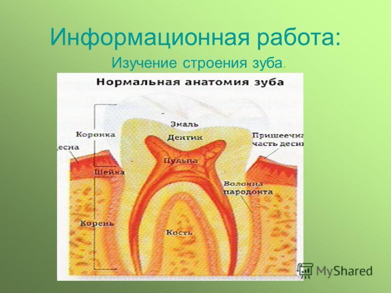 Информационная работа: Изучение строения зуба.