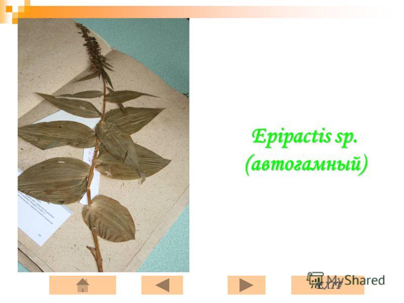 EXIT Epipactis sp. (автогамный)