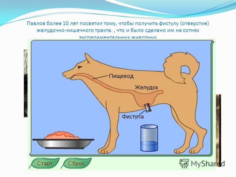 Павлов более 10 лет посвятил тому, чтобы получить фистулу (отверстие) желудочно-кишечного тракта., что и было сделано им на сотнях экспериментальных животных