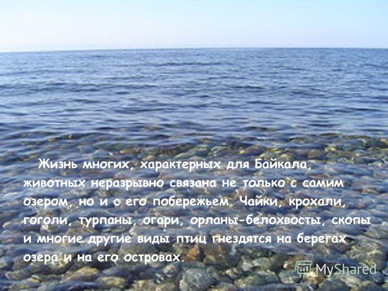 Жизнь многих, характерных для Байкала, животных неразрывно связана не только с самим озером, но и с его побережьем. Чайки, крохали, гоголи, турпаны, огари, орланы-белохвосты, скопы и многие другие виды птиц гнездятся на берегах озера и на его острова