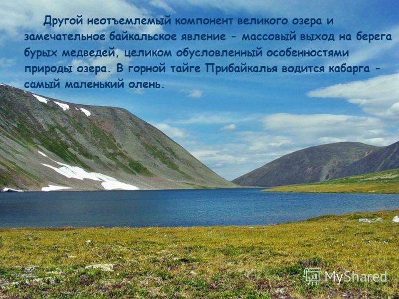 Другой неотъемлемый компонент великого озера и замечательное байкальское явление - массовый выход на берега бурых медведей, целиком обусловленный особенностями природы озера. В горной тайге Прибайкалья водится кабарга - самый маленький олень.