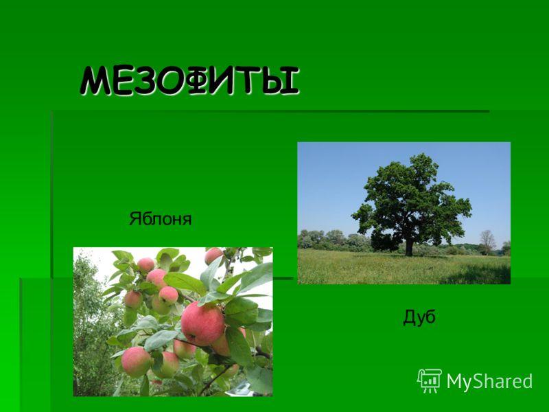 МЕЗОФИТЫ Дуб Яблоня