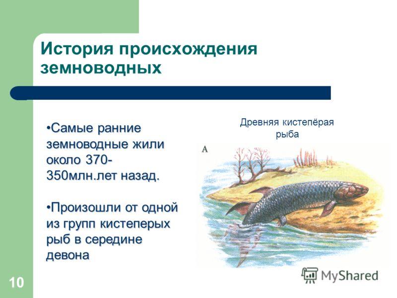 10 История происхождения земноводных Самые ранние земноводные жили около 370- 350млн.лет назад.Самые ранние земноводные жили около 370- 350млн.лет назад. Произошли от одной из групп кистеперых рыб в середине девонаПроизошли от одной из групп кистепер