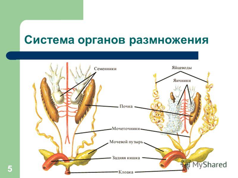 5 Система органов размножения