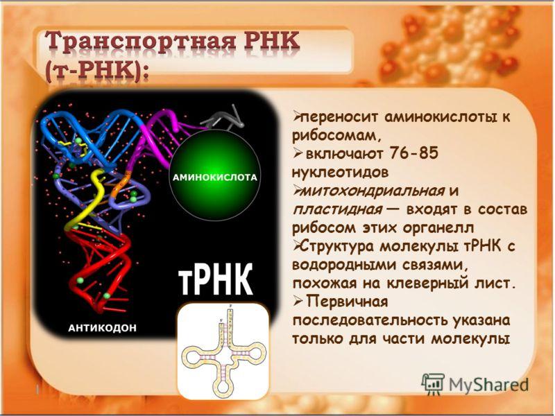 переносит аминокислоты к рибосомам, включают 76-85 нуклеотидов митохондриальная и пластидная входят в состав рибосом этих органелл Структура молекулы тРНК с водородными связями, похожая на клеверный лист. Первичная последовательность указана только д