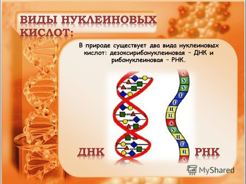 В природе существует два вида нуклеиновых кислот: дезоксирибонуклеиновая – ДНК и рибонуклеиновая – РНК.