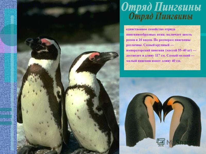 единственное семейство отряда пингвинообразных птиц; включает шесть родов и 16 видов. По размерам пингвины различны. Самый крупный императорский пингвин (массой 35–40 кг) достигает в длину 117 см. Самый мелкий малый пингвин имеет длину 40 см.