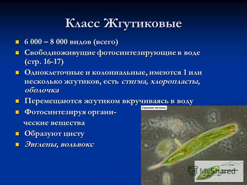 Класс Жгутиковые 6 000 – 8 000 видов (всего) 6 000 – 8 000 видов (всего) Свободноживущие фотосинтезирующие в воде (стр. 16-17) Свободноживущие фотосинтезирующие в воде (стр. 16-17) Одноклеточные и колониальные, имеются 1 или несколько жгутиков, есть