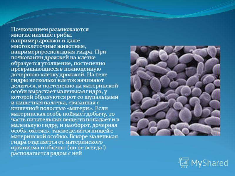 Почкованием размножаются многие низшие грибы, например дрожжи и даже многоклеточные животные, напримерпресноводная гидра. При почковании дрожжей на клетке образуется утолщение, постепенно превращающиеся в полноценную дочернюю клетку дрожжей. На теле