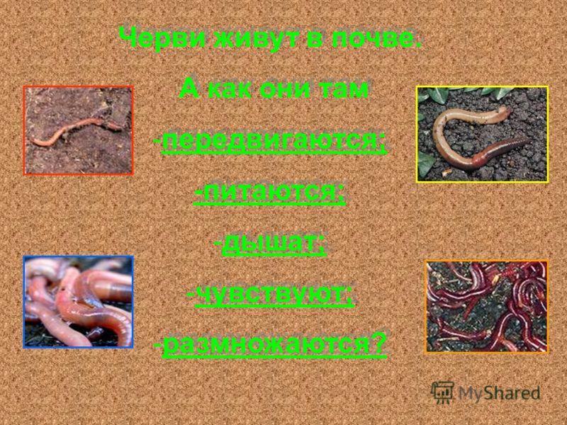 Черви живут в почве. А как они там -передвигаются; -питаются; -дышат; -чувствуют; -размножаются? Черви живут в почве. А как они там -передвигаются; -питаются; -дышат; -чувствуют; -размножаются?