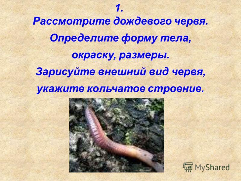1. Рассмотрите дождевого червя. Определите форму тела, окраску, размеры. Зарисуйте внешний вид червя, укажите кольчатое строение.
