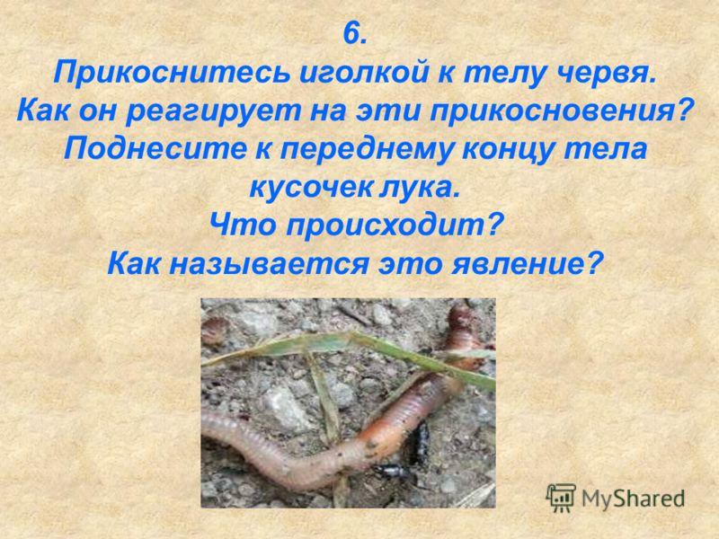 6. Прикоснитесь иголкой к телу червя. Как он реагирует на эти прикосновения? Поднесите к переднему концу тела кусочек лука. Что происходит? Как называется это явление?