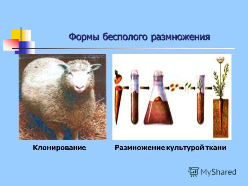 Формы бесполого размножения КлонированиеРазмножение культурой ткани