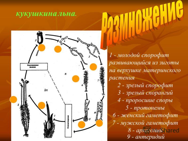 1 - молодой спорофит развивающийся из зиготы на верхушке материнского растения 2 - зрелый спорофит 3 - зрелый спорангий 4 - проросшие споры 5 - протонемы 6 - женский гаметофит 7 - мужской гаметофит 8 - архегоний кукушкина льна. 9 - антеридий