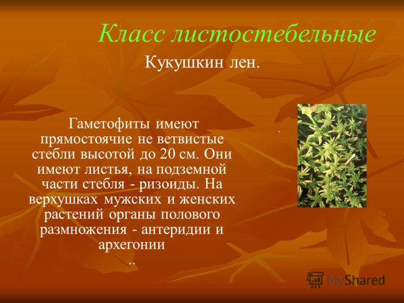Кукушкин лен. Гаметофиты имеют прямостоячие не ветвистые стебли высотой до 20 см. Они имеют листья, на подземной части стебля - ризоиды. На верхушках мужских и женских растений органы полового размножения - антеридии и архегонии... Класс листостебель