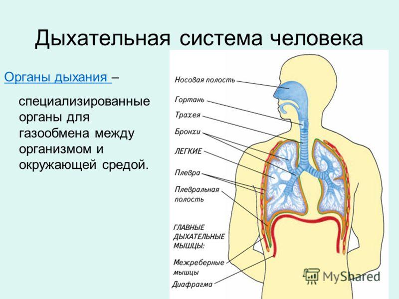 Органы дыхания биология 8 класс урок таблица