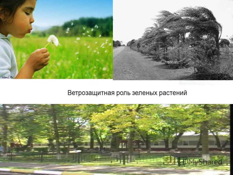 Ветрозащитная роль зеленых растений