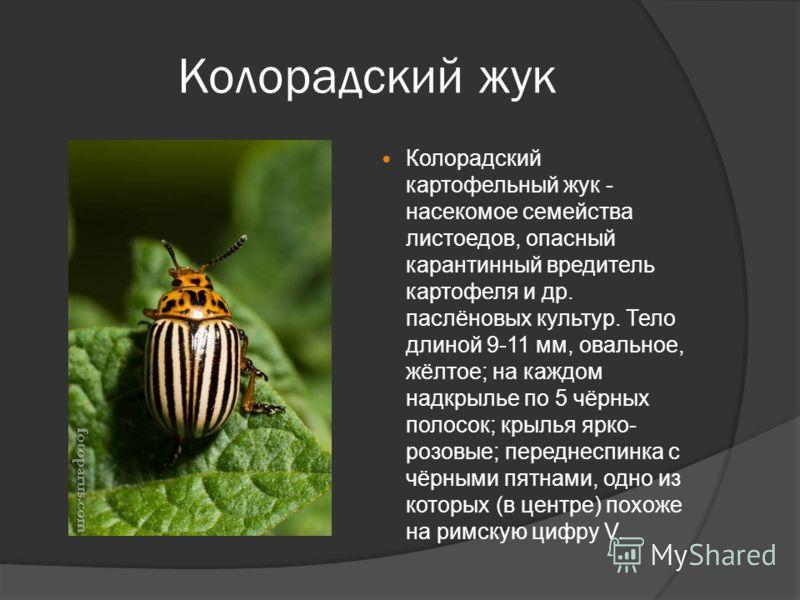 Колорадский жук Колорадский картофельный жук - насекомое семейства листоедов, опасный карантинный вредитель картофеля и др. паслёновых культур. Тело длиной 9-11 мм, овальное, жёлтое; на каждом надкрылье по 5 чёрных полосок; крылья ярко- розовые; пере