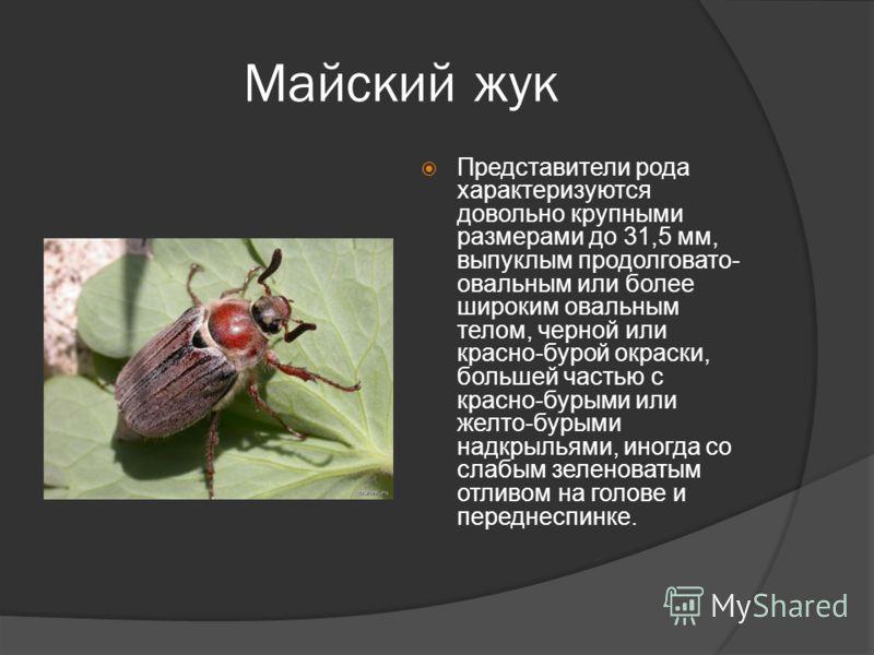 Майский жук Представители рода характеризуются довольно крупными размерами до 31,5 мм, выпуклым продолговато- овальным или более широким овальным телом, черной или красно-бурой окраски, большей частью с красно-бурыми или желто-бурыми надкрыльями, ино