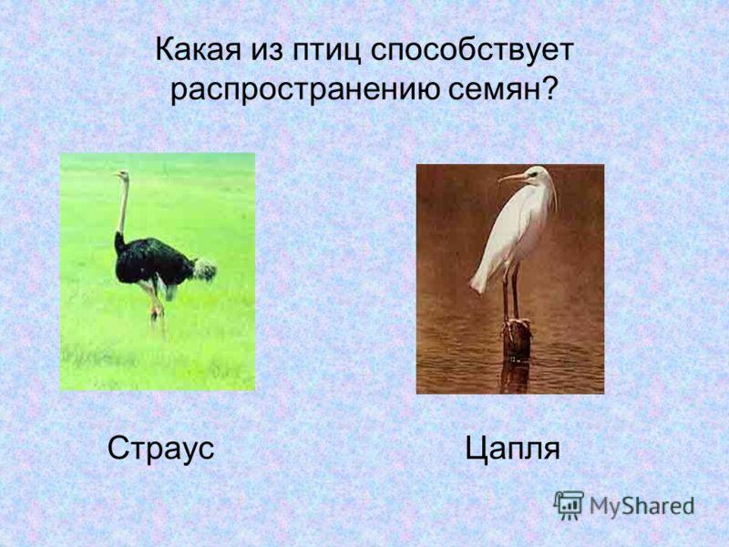 Какая из птиц способствует распространению семян? Страус Цапля