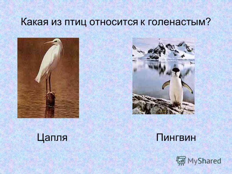 Какая из птиц относится к голенастым? Цапля Пингвин