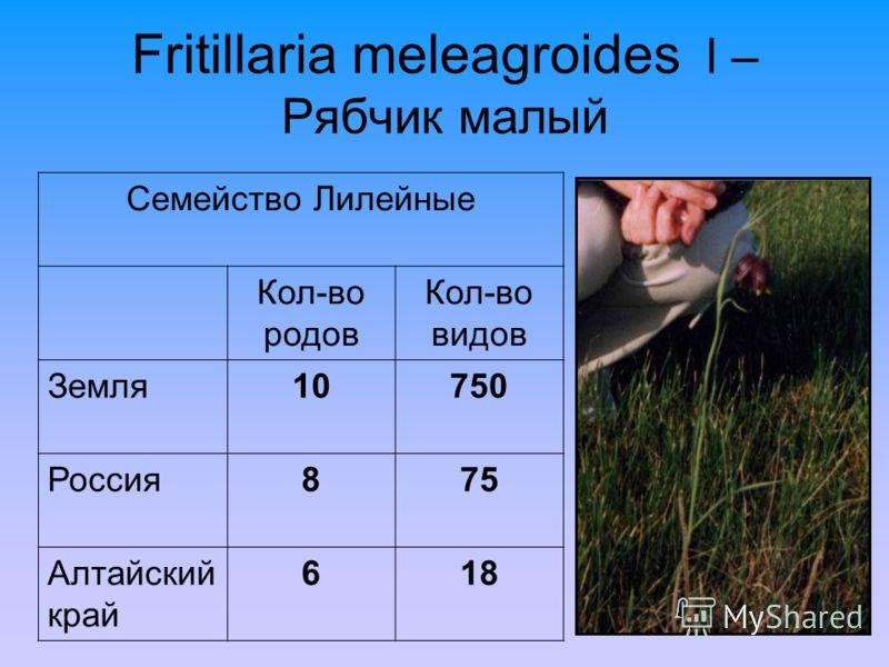 Fritillaria meleagroides l – Рябчик малый Семейство Лилейные Кол-во родов Кол-во видов Земля10750 Россия875 Алтайский край 618