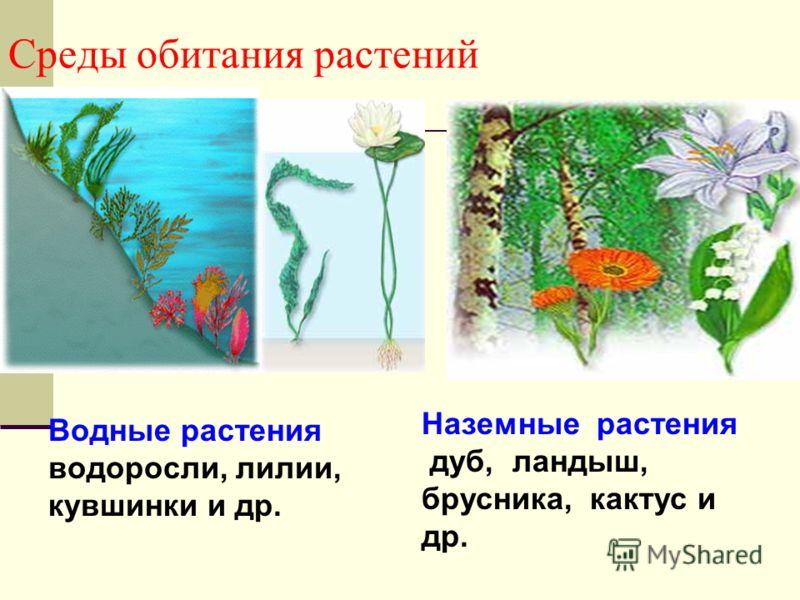 Среды обитания растений Водные растения водоросли, лилии, кувшинки и др. Наземные растения дуб, ландыш, брусника, кактус и др.