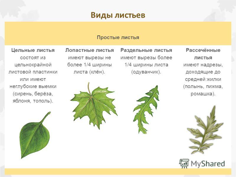 Простые листья Цельные листья состоят из цельнокрайной листовой пластинки или имеют неглубокие выемки (сирень, берёза, яблоня, тополь). Лопастные листья имеют вырезы не более 1/4 ширины листа (клён). Раздельные листья имеют вырезы более 1/4 ширины ли