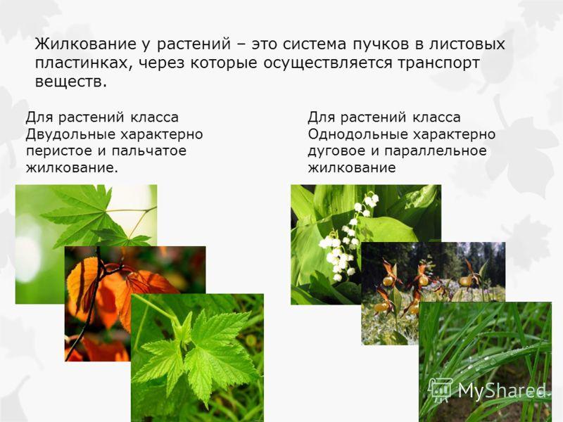 Жилкование у растений – это система пучков в листовых пластинках, через которые осуществляется транспорт веществ. Для растений класса Двудольные характерно перистое и пальчатое жилкование. Для растений класса Однодольные характерно дуговое и параллел