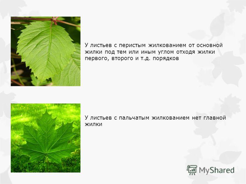 У листьев с перистым жилкованием от основной жилки под тем или иным углом отходя жилки первого, второго и т.д. порядков У листьев с пальчатым жилкованием нет главной жилки