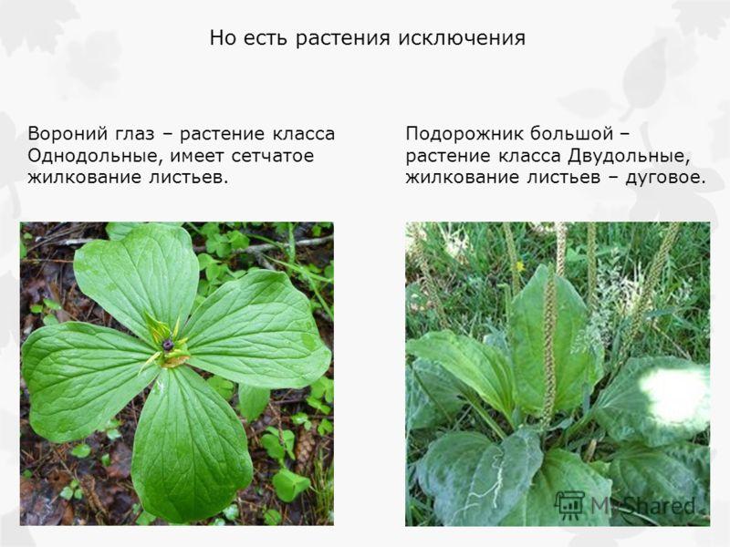 Но есть растения исключения Вороний глаз – растение класса Однодольные, имеет сетчатое жилкование листьев. Подорожник большой – растение класса Двудольные, жилкование листьев – дуговое.