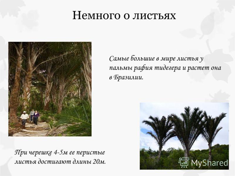 Самые большие в мире листья у пальмы рафия тидегера и растет она в Бразилии. При черешке 4-5м ее перистые листья достигают длины 20м. Немного о листьях