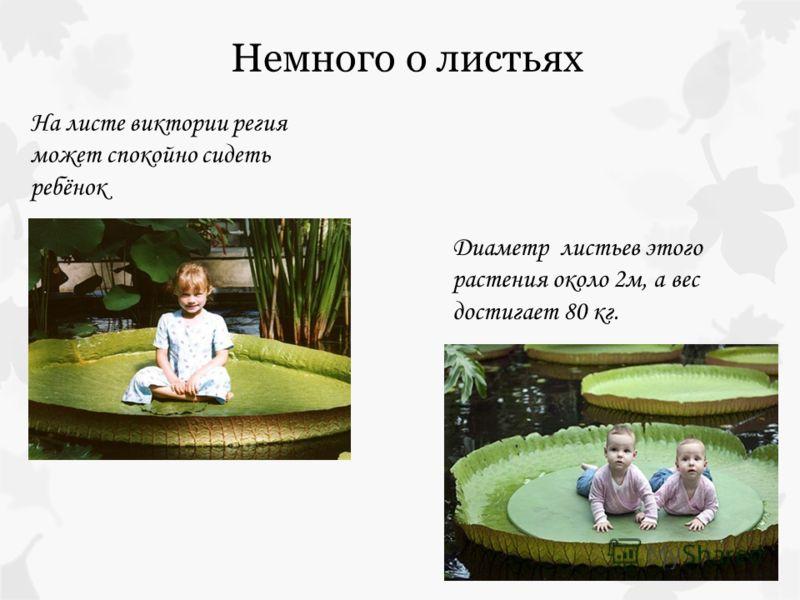 На листе виктории регия может спокойно сидеть ребёнок Диаметр листьев этого растения около 2м, а вес достигает 80 кг.
