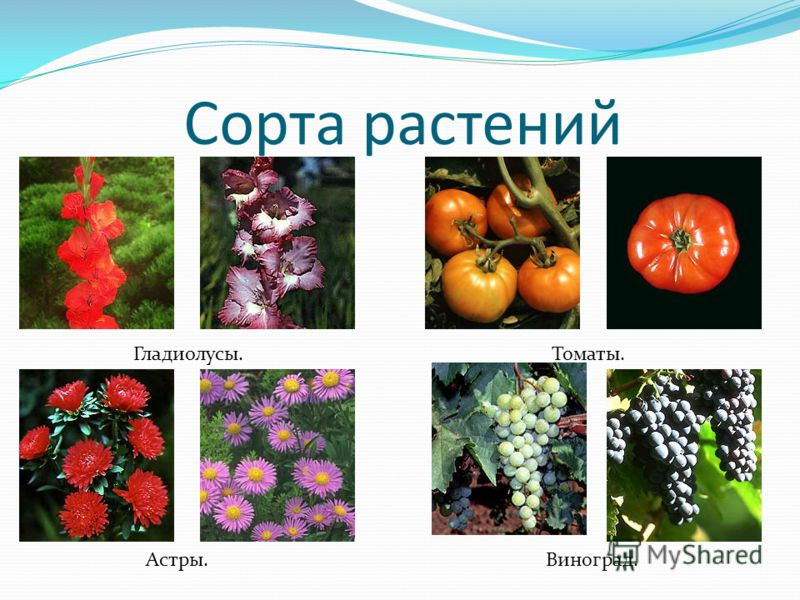 Сорта растений Гладиолусы. Астры. Томаты. Виноград.