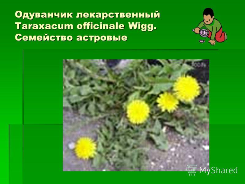 Одуванчик лекарственный Taraxacum officinale Wigg. Семейство астровые