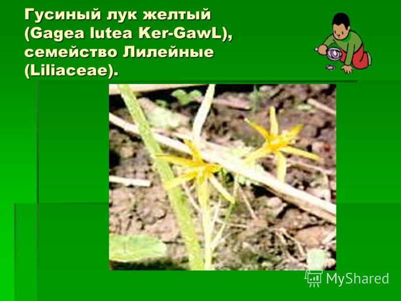 Гусиный лук желтый (Gagea lutea Ker-GawL), семейство Лилейные (Liliaceae).