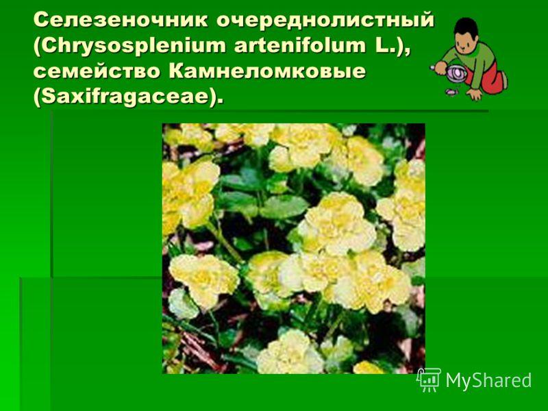 Селезеночник очереднолистный (Chrysosplenium artenifolum L.), семейство Камнеломковые (Saxifragaceae).